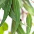 eucalyptus_lemon-70.jpg