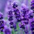 lavender-70.jpg