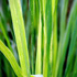 lemongrass-70.jpg