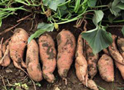 sweetpotato-4.jpg